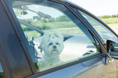 dog in car_car safety